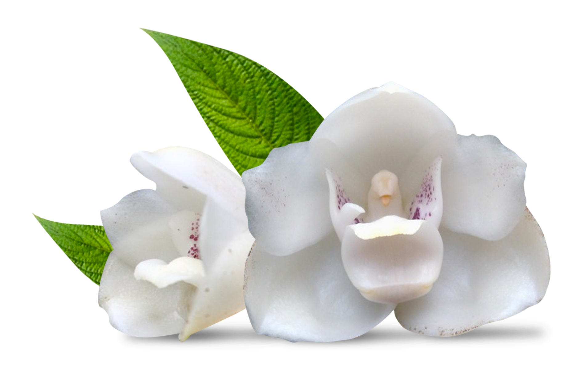 Elata Flower